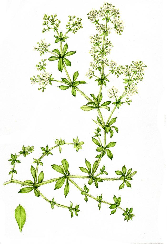 botanical illustration of goosegrass sticky willy