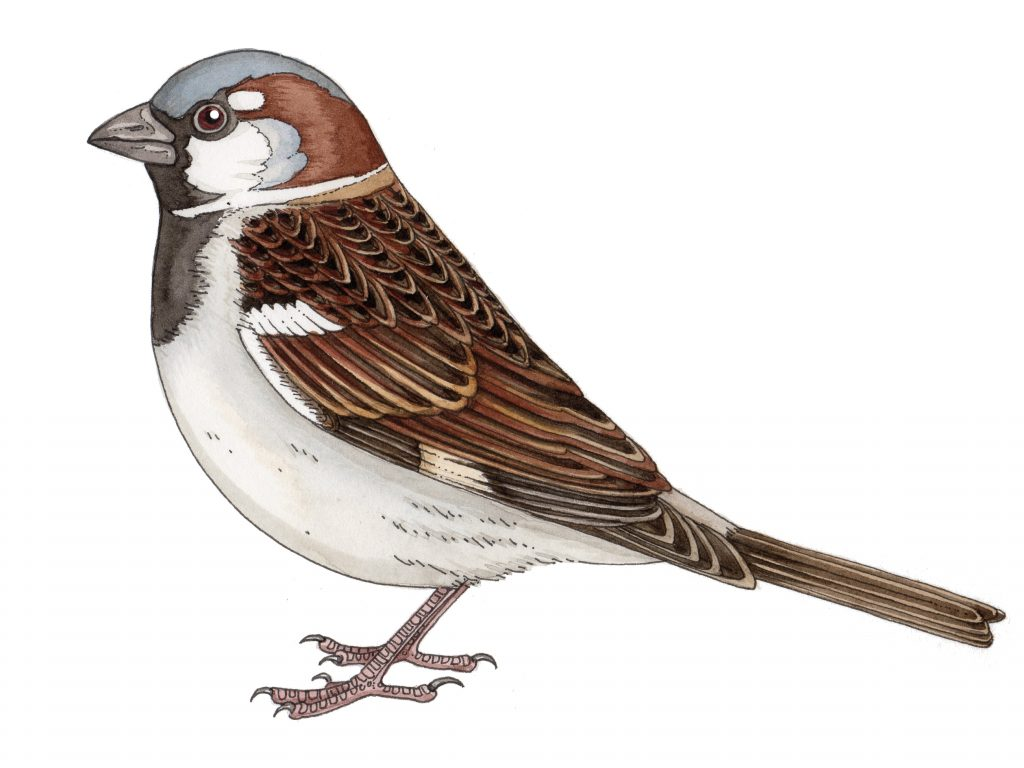 natural hsitory illustration sparrow