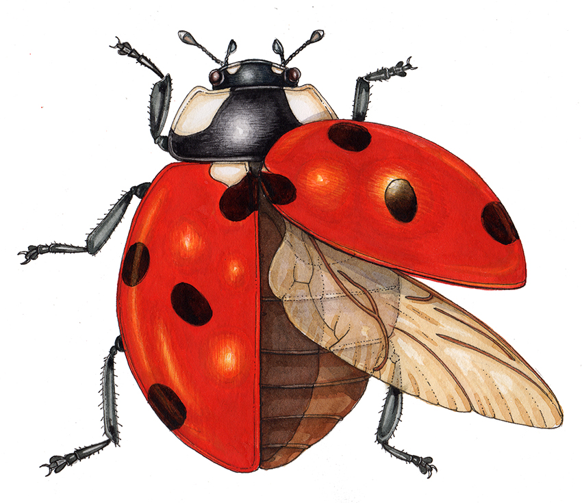 ladybug with outstretched wing diagram