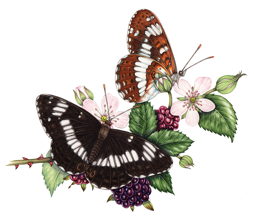 natural history illustration of white admiral butterfly