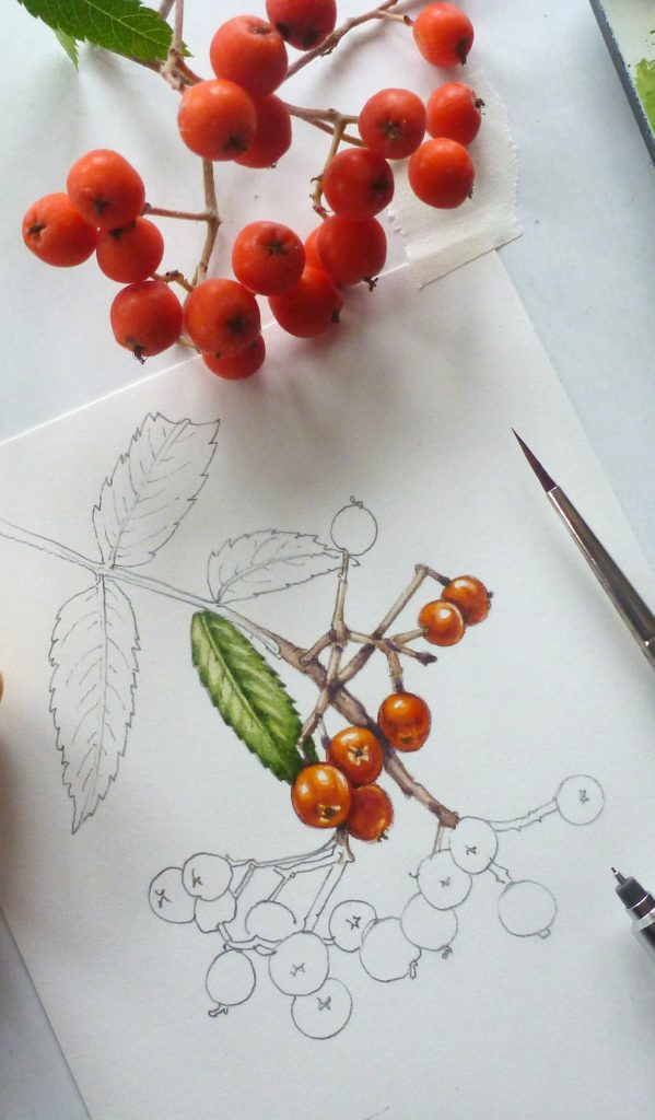 rowan berry, fruit