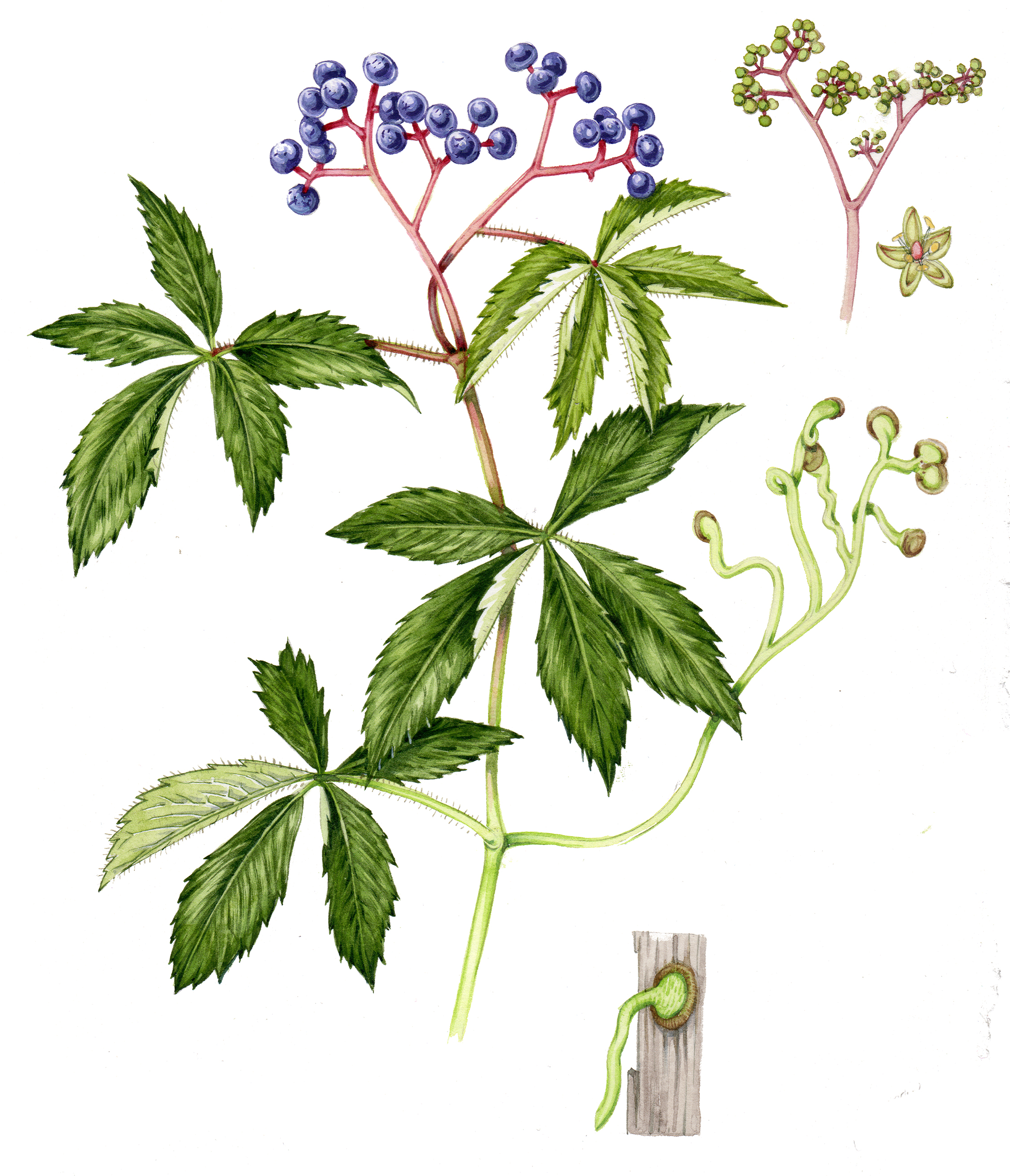 What S The Difference Between Virginia Creeper And False Virginia Creeper Lizzie Harper