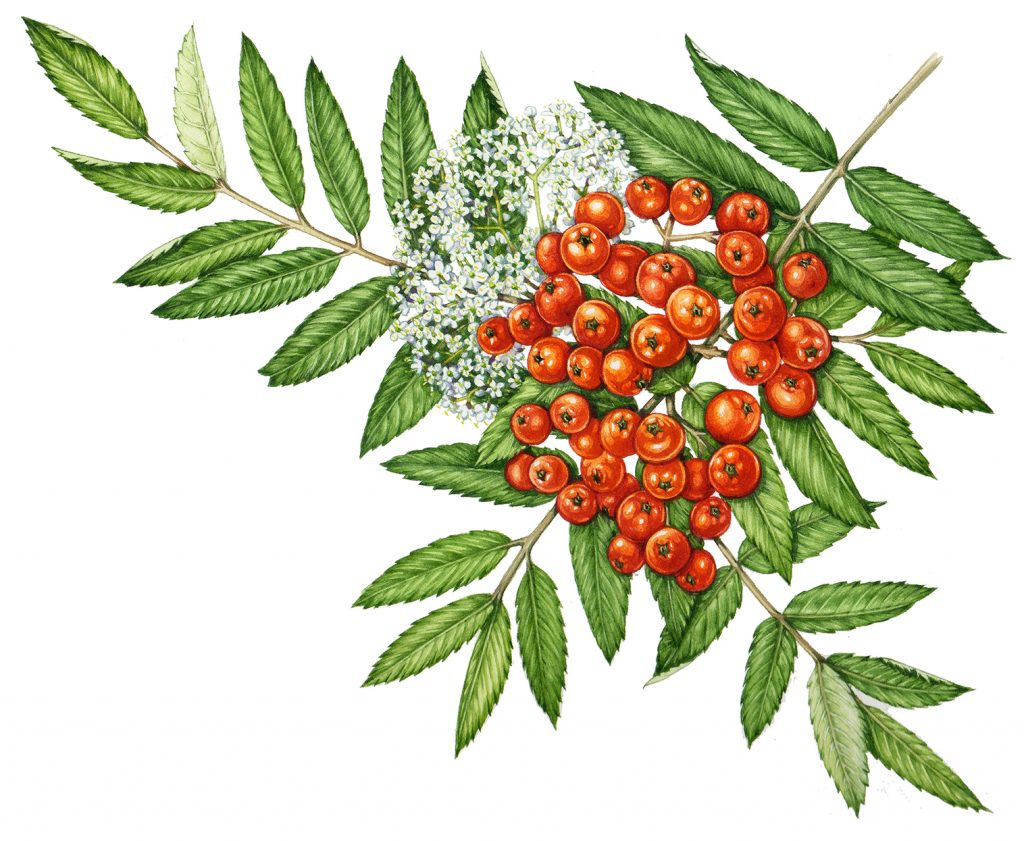 botanical illustration of mountain ash by Lizzie harper
