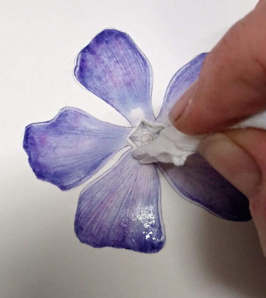 blotting the periwinkle botanical illustration
