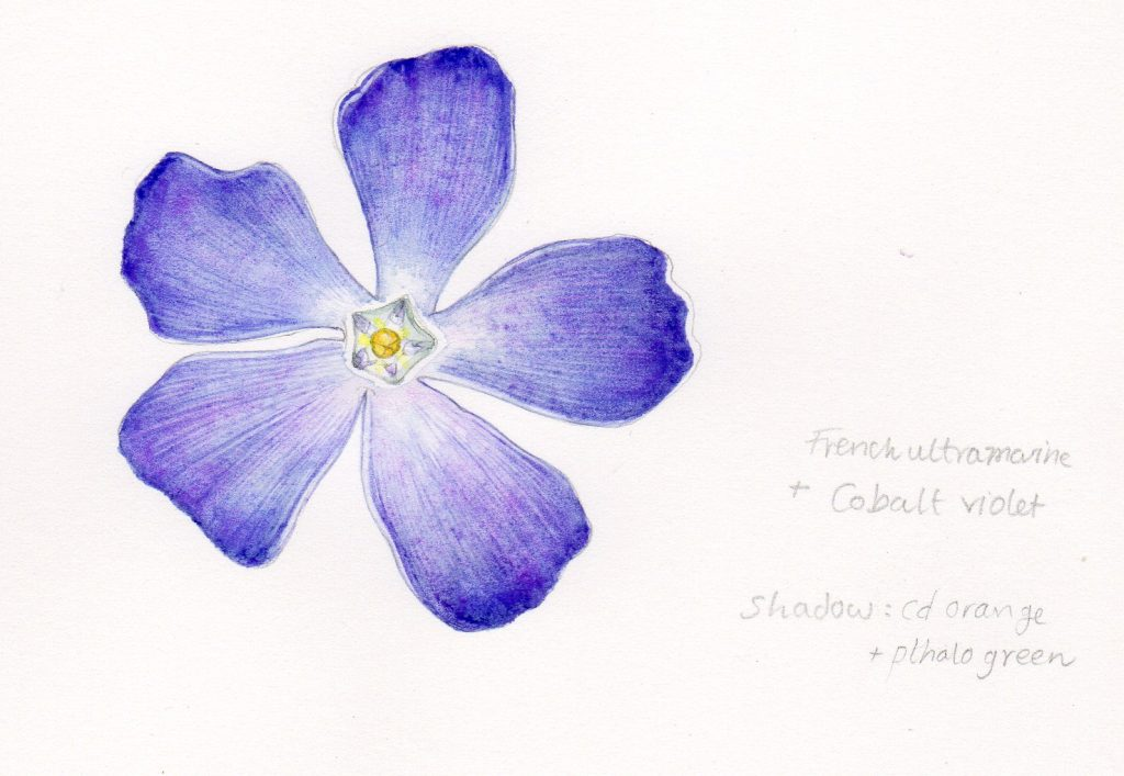 finished sciart botanical art illustration of the periwinkle