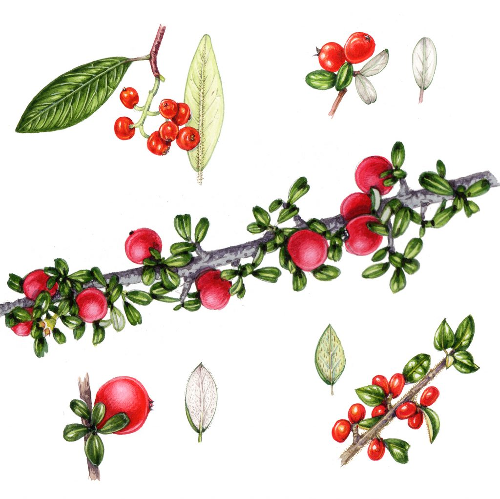 non native comparison of cotoneaster species