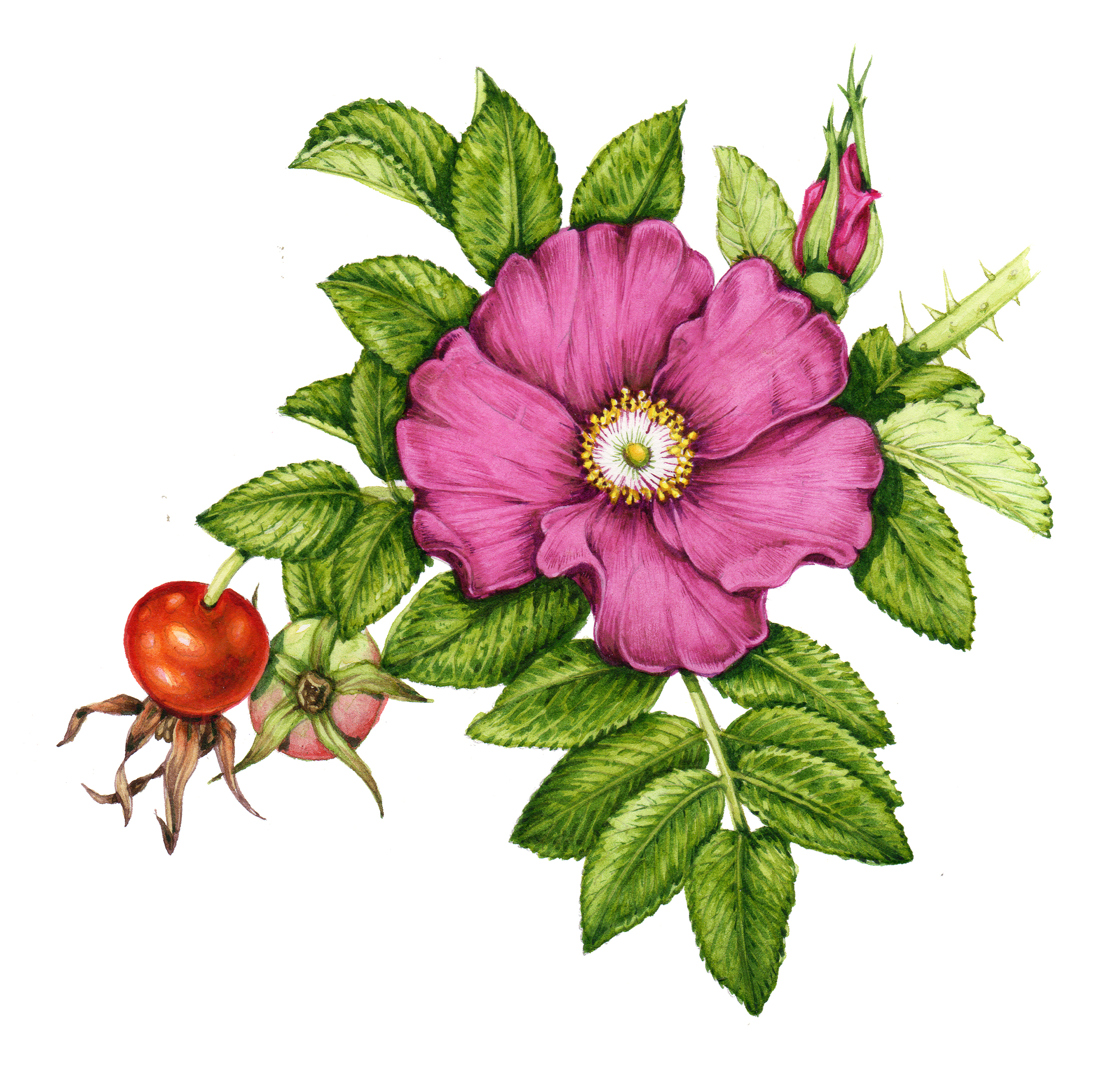 Roses For Sale Near Me >> Botanical Illustration: Rosehips - Lizzie Harper