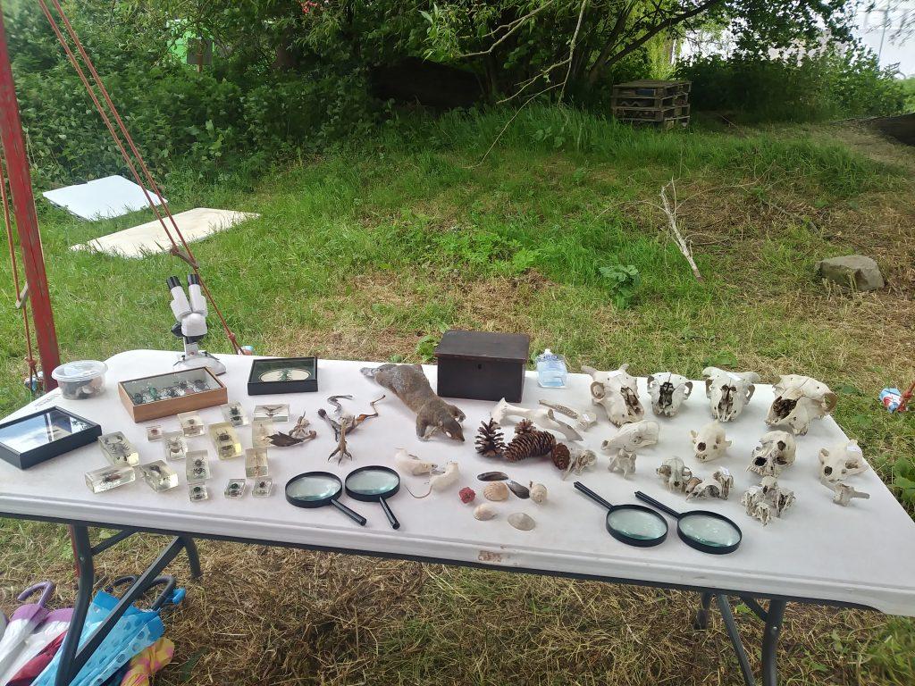 table of skulls and natural history specimens for Hay festival workshop