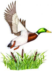 Mallard Duck Artwork For Wild Shreds Petfood Copyright Spot Farms 2019 Natural History Illustrations By Lizzie Harper Lizzie Harper