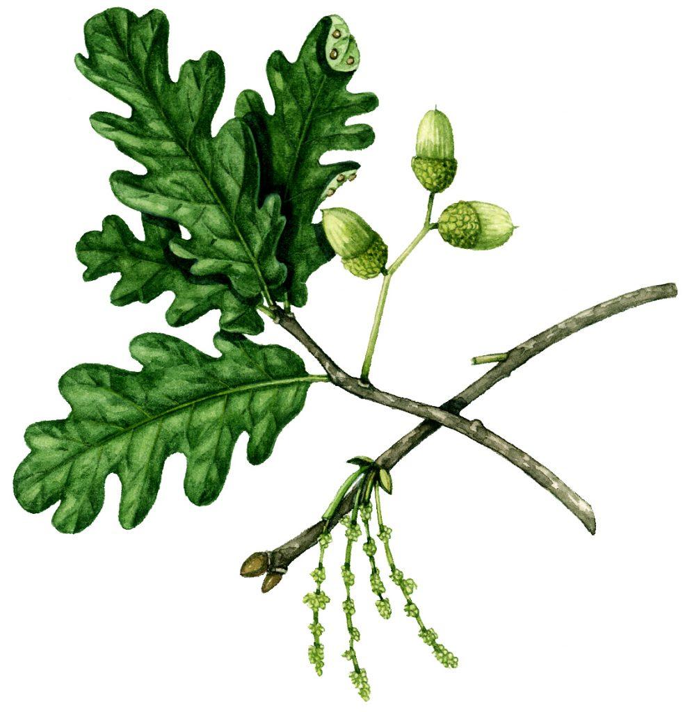 Trees: English Oak